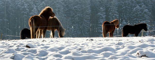 Islandpferdeherde auf Winterkoppel
